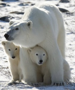Polar bears struggling to survive