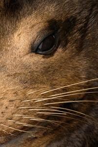 sea lion face close up