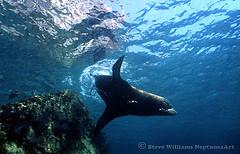 sea of cortez male sea lion