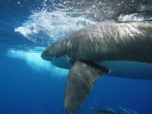 Kinda a big deal! White shark at Guadalupe Island 2009