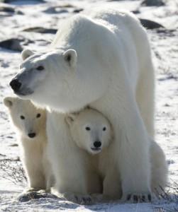 Polar bears struggling to survive