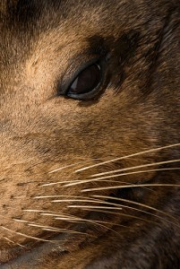 sea lion face close up