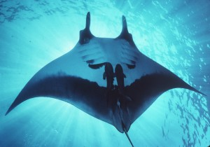 The underbelly of a manta!