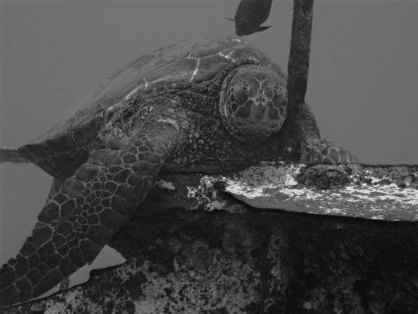 b&w turtle chanelle.jpg