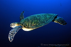 sea of cortez green sea turtle.jpg