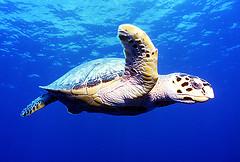 cozumel hawksbill sea turtle.jpg