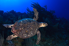 cayman sea turtle.jpg